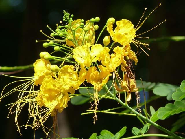 Caesalpinia pulcherrima flava rboles - Caesalpinia gilliesii cultivo ...