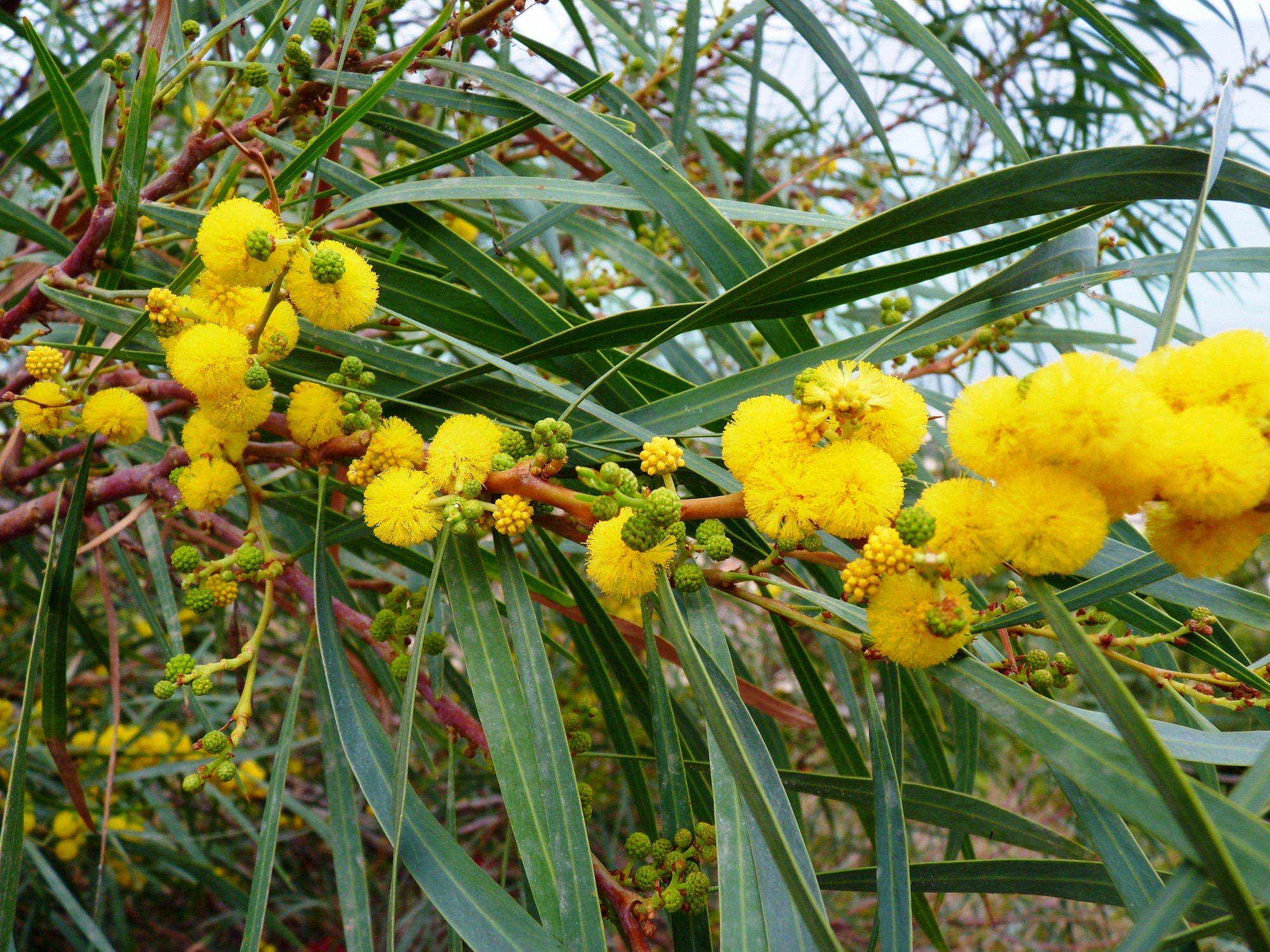 Acacia saligna for Garden products catalog